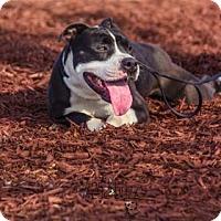 Adopt A Pet :: Norman - Greenville, NC