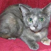 Domestic Mediumhair Cat for adoption in Miami, Florida - Kaitlin