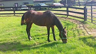 Tennessee Walking Horse Mix for adoption in cumming, Georgia - Victoria