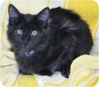 Russian Blue Kitten for adoption in Prescott, Arizona - Cloud