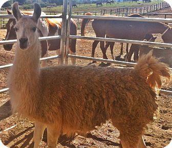 Llama for adoption in Sac, California - Santiago