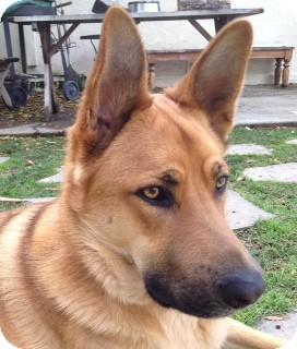 German Shepherd Dog Mix Dog for adoption in Long Beach, California - Nate