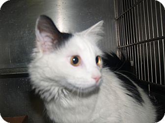 Domestic Mediumhair Cat for adoption in El Cajon, California - Kitty Girl