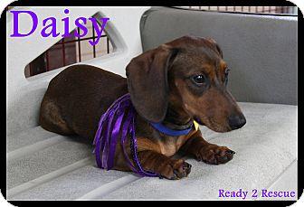 Dachshund Puppy for adoption in Rockwall, Texas - Peyton