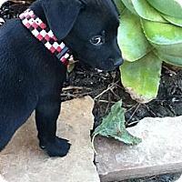 Adopt A Pet :: THOMAS - Torrance, CA