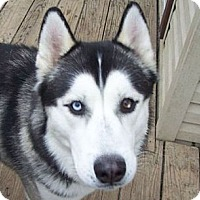 Adopt A Pet :: Gizmo - Belleville, MI