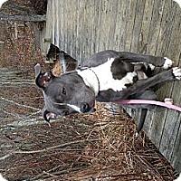 Adopt A Pet :: Tiny SAMANTHA loves kids! - Durham, NH