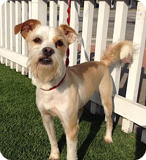Cairn Terrier/Border Terrier Mix Dog for adoption in Santa Ana, California - Roger