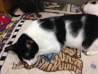 Domestic Shorthair Cat for adoption in Fresno, California - Azon