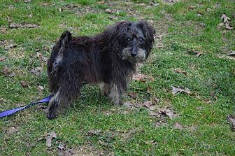 Yorkie, Yorkshire Terrier Mix Dog for adoption in Monroe, North Carolina - Junior