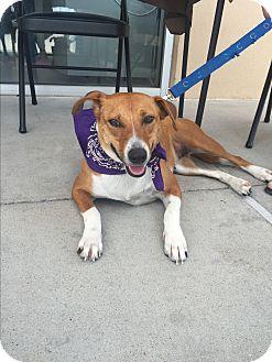 Beagle Mix Dog for adoption in San Angelo, Texas - Angel