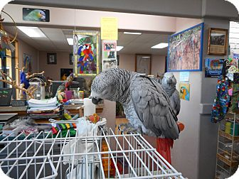 """African Grey for adoption in Vancouver, Washington - """"Libby 1 Spoiled African Grey"""