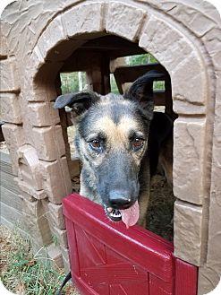 German Shepherd Dog Dog for adoption in Louisville, Kentucky - Fortune