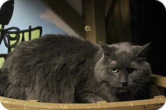 Domestic Mediumhair Cat for adoption in West Des Moines, Iowa - Smokey