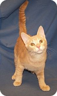 Domestic Shorthair Kitten for adoption in Colorado Springs, Colorado - K-Ginger2-Adonis