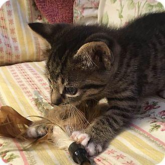 Domestic Shorthair Kitten for adoption in Gainesville, Florida - Krycek