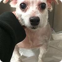 Adopt A Pet :: Lady - Oak Ridge, NJ