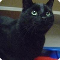 Adopt A Pet :: Bagheera - Hamburg, NY