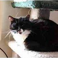 Adopt A Pet :: Domino - Pasadena, CA