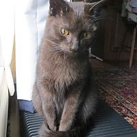 Domestic Shorthair Kitten for adoption in Carlisle, Pennsylvania - Downton