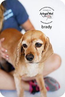 Cocker Spaniel Dog for adoption in Sherman Oaks, California - Brady