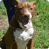 Adopt A Pet :: Blue - Glastonbury, CT