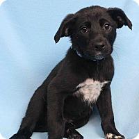 Adopt A Pet :: Hans - Westminster, CO