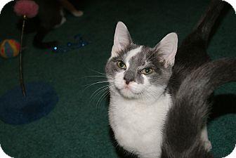 Domestic Shorthair Kitten for adoption in Trevose, Pennsylvania - Friendly