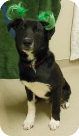 German Shepherd Dog/Labrador Retriever Mix Puppy for adoption in Gary, Indiana - Stash