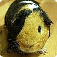 Adopt A Pet :: Neville - Brooklyn Park, MN