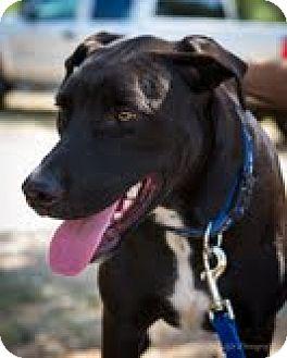 Labrador Retriever Mix Dog for adoption in Bulverde, Texas - Masey