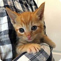 Adopt A Pet :: Tater Tot - Reston, VA