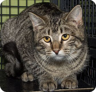 Domestic Shorthair Cat for adoption in St. Louis, Missouri - Adele