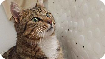 Domestic Shorthair Cat for adoption in New Milford, Connecticut - Sunshine