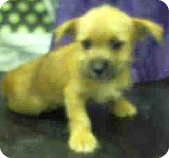 Norfolk Terrier/Cairn Terrier Mix Puppy for adoption in Boulder, Colorado - Mike-ADOPTION PENDING