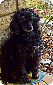 Poodle (Miniature) Dog for adoption in Los Angeles, California - Emerald