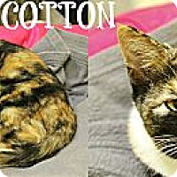Adopt A Pet :: Cotton - Mobile, AL