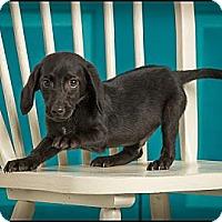 Adopt A Pet :: Poptart - Owensboro, KY