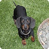 Adopt A Pet :: DaVinci - Louisville, CO