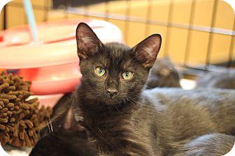 Domestic Shorthair Kitten for adoption in Marietta, Georgia - Caleb