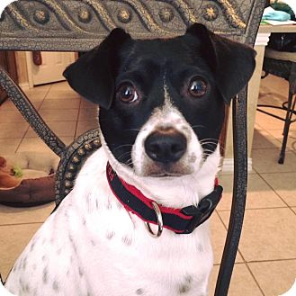 Jack Russell Terrier Mix Dog for adoption in Dallas/Ft. Worth, Texas - Frank In Dallas