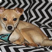 Adopt A Pet :: CINDY - LEXINGTON, KY