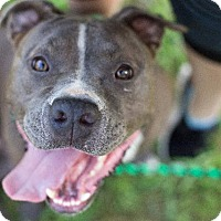Pit Bull Terrier Dog for adoption in Murphysboro, Illinois - Roxie