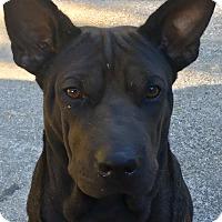 Adopt A Pet :: Choco - Staunton, VA