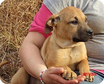 Great Dane/Shepherd (Unknown Type) Mix Puppy for adoption in Burlington, Vermont - Tink (14 lb) Pretty Pup!