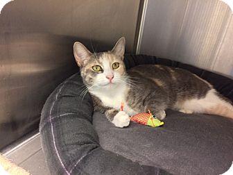 American Shorthair Cat for adoption in New York, New York - Sugar