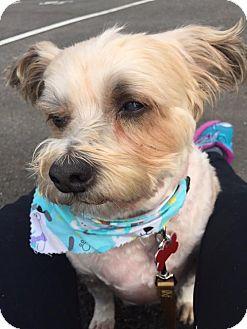 Bichon Frise/Poodle (Miniature) Mix Dog for adoption in Seattle, Washington - Bear - Sweetest Fluffy Girl!