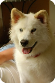 Samoyed Dog for adoption in Spring City, Tennessee - Pappy