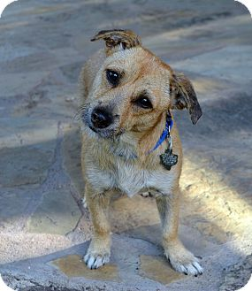 Wirehaired Fox Terrier Mix Dog for adoption in Houston, Texas - Ginger