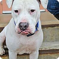 Adopt A Pet :: Boris - Reisterstown, MD